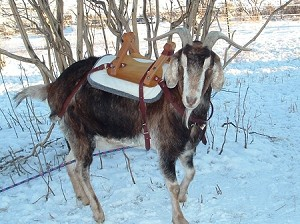 Original Goat Packsaddle